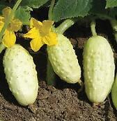 White Cucumber Seeds