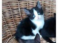 Kittens for sale Black and white girl