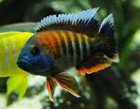 A lot of adult africain cichlid for sale !!!