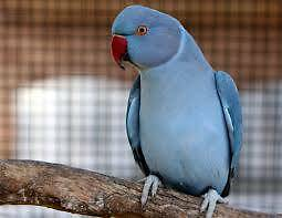 Want to buy a blue indian ringneck parrot Tea Tree Gully Tea Tree Gully Area Preview
