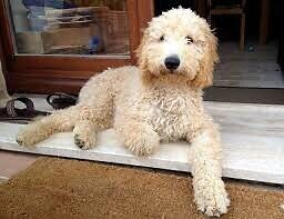 WANTED Goldendoodle or labradoodle