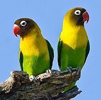LOVE BIRDS Cowandilla West Torrens Area Preview