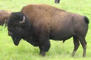 Bison Cows, yearlings and heifers wanted