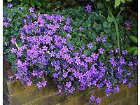 Campanula perennial plants