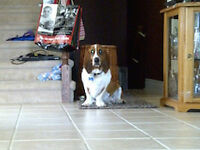 CKC reg. Neutered Male Basset Hound - 5 years old