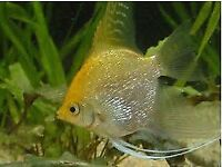 Fresh water angel fish/ pearl gourami