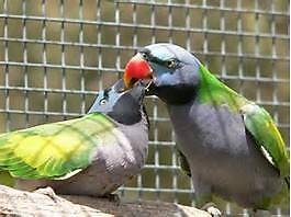 A Variety of Parrots from $12.00 Valley View Salisbury Area Preview