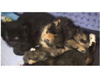 🐾🐾 Beautiful Fluffy Rag-doll kittens 🐾🐾