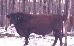 Red Angus 2 Year Old
