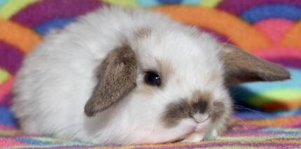 BABY MINI LOPS & DWARFS FROM $50 (AND BRAND-NEW CAGES/HUTCHES)