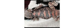 Painted agama 4 years old