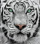 tigercards31
