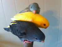 Hand-Fed Linnies for sale - Babies, Adults, Proven Breeders