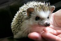Baby hedgehogs only 1 left!