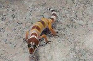 Gecko léopard hybino possible sunglow , reptile