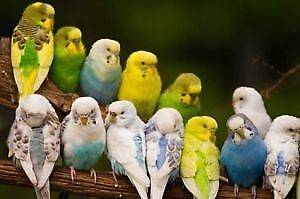 baby and teenage budgies Westmead Parramatta Area Preview