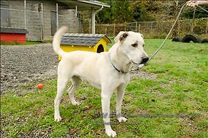 "Adult Male Dog - Labrador Retriever: ""Ruckus"""