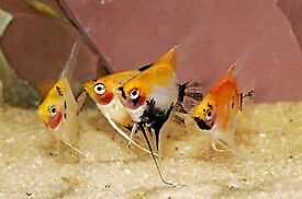 Angelfish For Sale