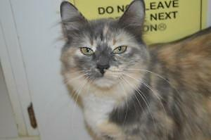 "Young Female Cat - Domestic Medium Hair: ""Storm"""