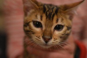 REWARD LOST young male Bengal  rosettes