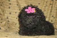 chiot femelle caniche miniature entierement noir
