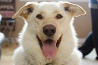 """Adult Male Dog - Great Pyrenees-Retriever: """"Diggity"""""""