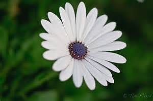 WANTED .  African Daisy George Town George Town Area Preview