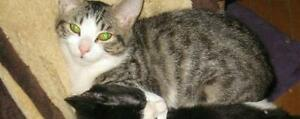 """Adult Female Cat - Domestic Short Hair: """"Sparky"""""""