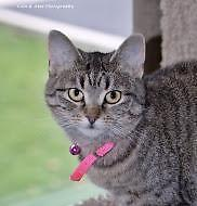 Young Female  - Tabby - Brown-Domestic Short Hair