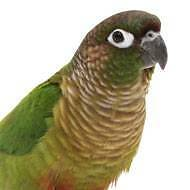 HELP LOST CONURE BIRD! Benowa Gold Coast City Preview