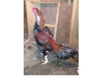 Pure aseel chicken for sale