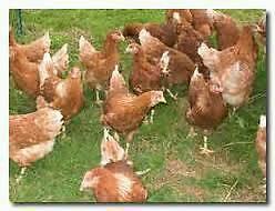 Hybrid Hens