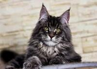 Looking for a pure bred Maine Coon Kitten