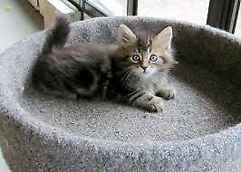 Maine coon- Siberian kittens 2 left. Father on site .