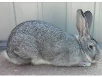 Gray rabbit for sale