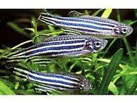 Zebra Danio Fish x7