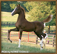 The American Saddlebred..the horse for ALL reasons