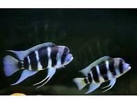 F1 Frontosa brundi mixed batch malawi cichlid tropical fish