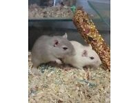 8 week old Gerbils for rehoming