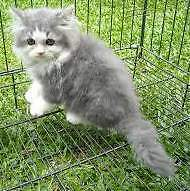 8 weeks persian mix female kittens