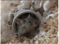 Baby fancy mice for sale