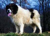 Looking for a Tornjak breed