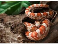 i have a adult female corn snake and full set up and food