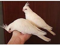 Handreared albino cockatiel