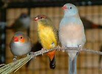 Pinsons/finches