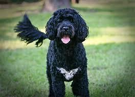Wanted to join our family a Portuguese Water Dog