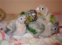 ** THE BIRD WHISPERER HAS BABY CONURES**