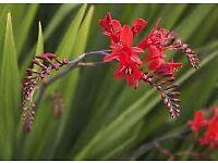Crocosmia plants