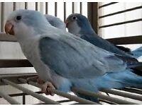 X Handtame Baby Quaker Parrots X