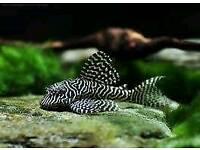 Plecs going cheap only 4 tropical fish